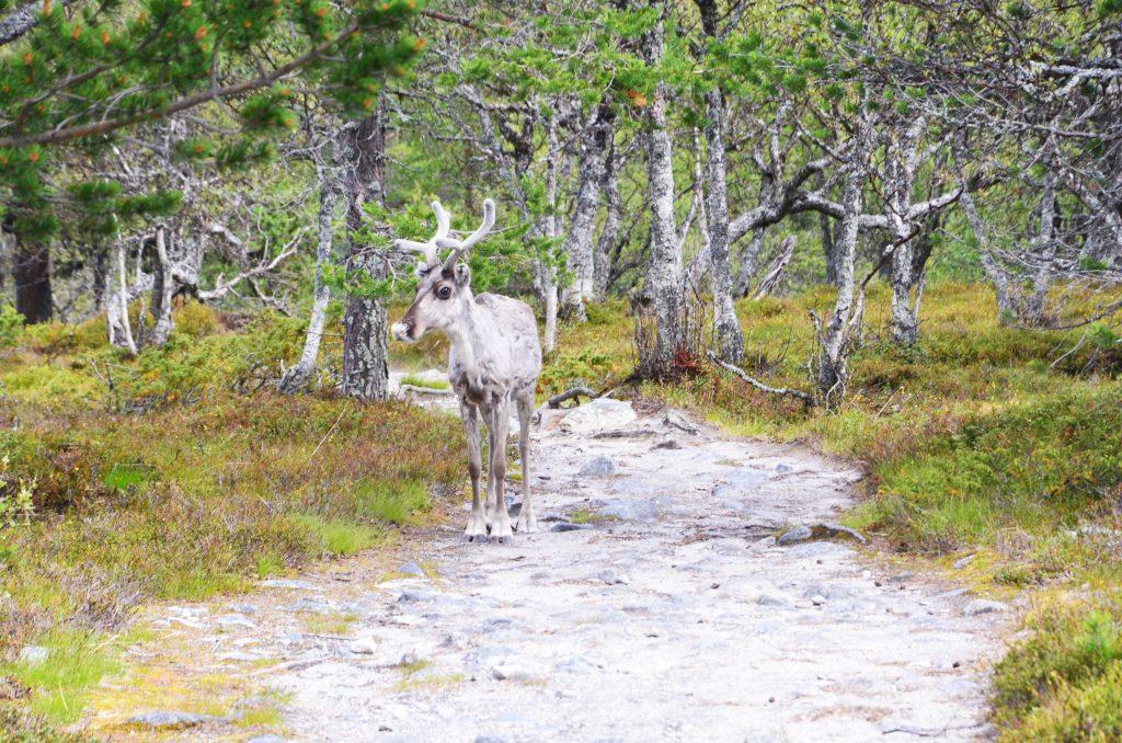 Rentier im Gröveljön Nationalpark